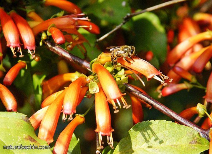 Halleria-lucida-flowers-bee.JPG
