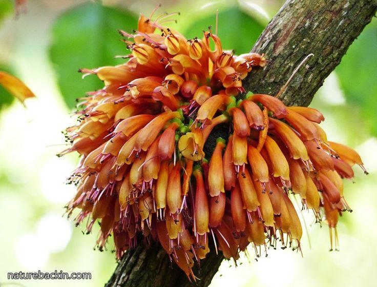 Halleria-lucida-flowers2