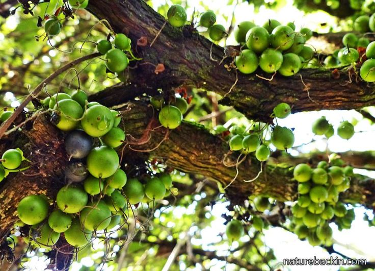Halleria-lucida-fruit