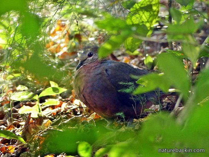 Lemon-Dove-woodland-understorey