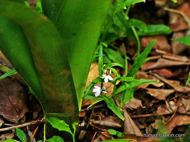 Lobelia-woodland-understorey
