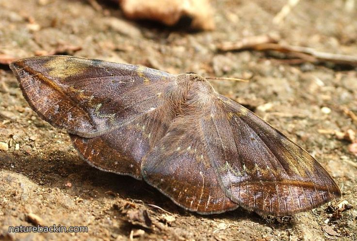 Moth-Red-Tail-3