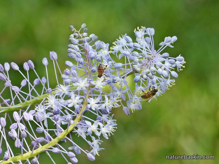 Blue Squill in wildlife garden