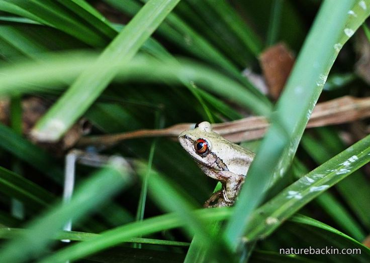 Treefrog-woodland-understorey