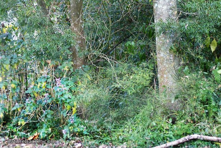 Woodland-understorey