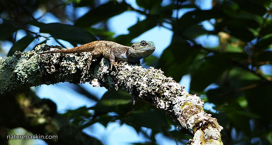 Tree Agama in a tree in a wildlife friendly garden