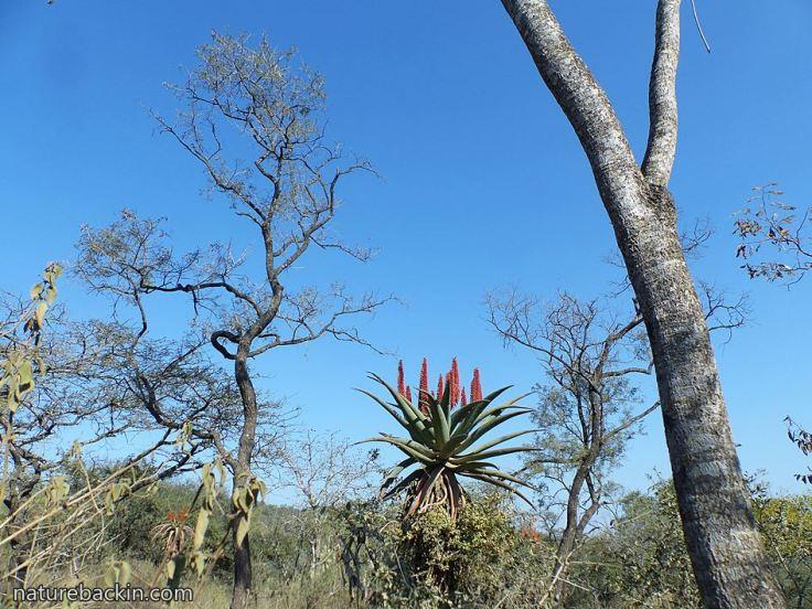 Bushveld-and-Aloe-ferox