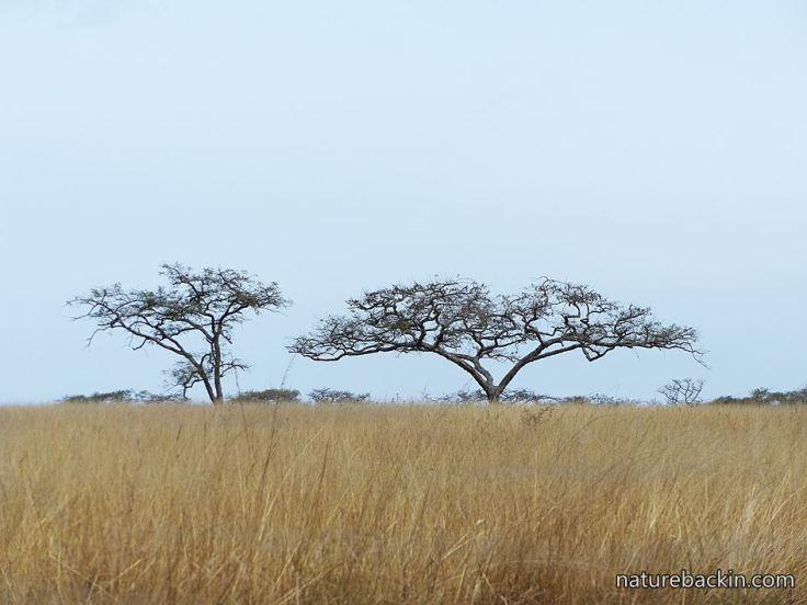 Grassland-and-acacias.JPG