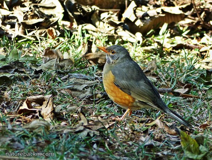 Kurrichane-thrush-2
