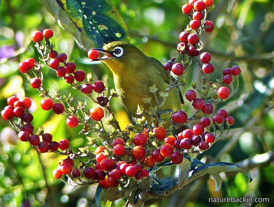 Cape White-eye eating berries of Solanum giganteum