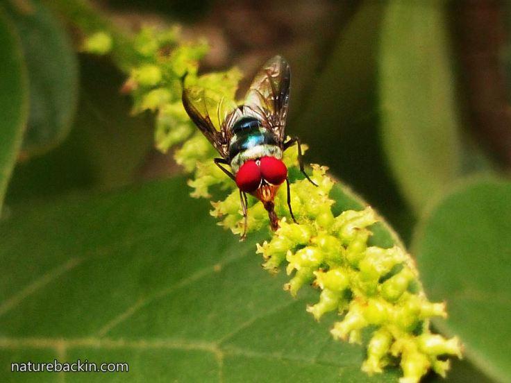 2 Blowfly-pollinator