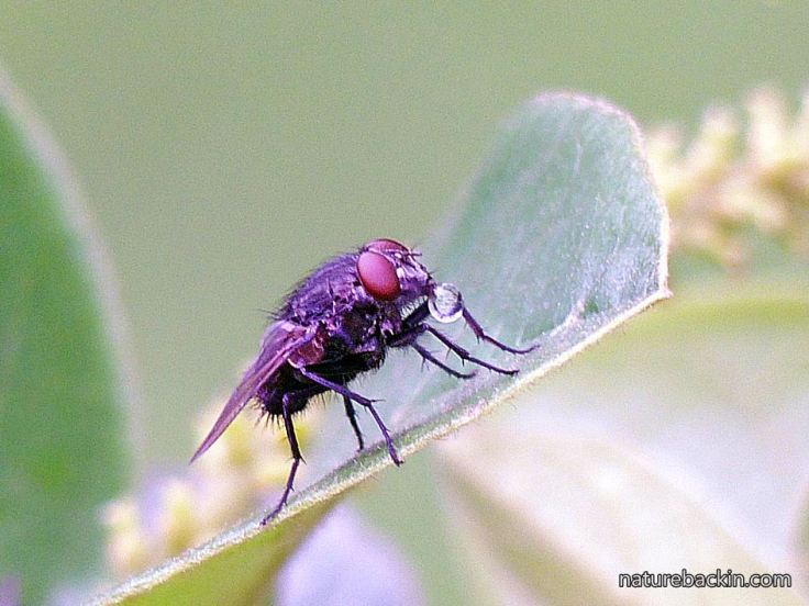 5 Tachnin -fly-with-nectar-bubble