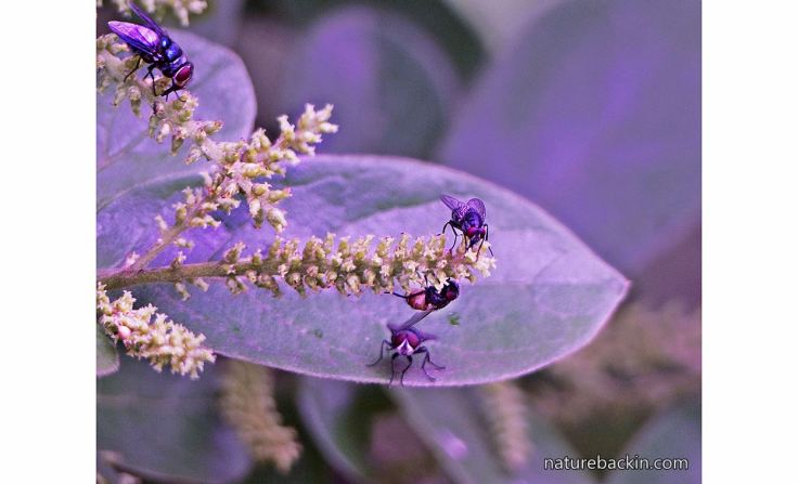 6 Flies-pollinating-Tassel-berry-tree
