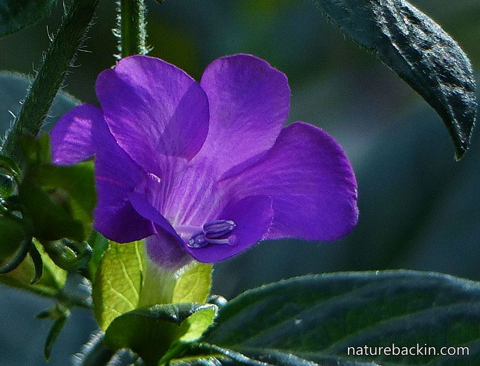Purple-flowered Barleria in KZN garden