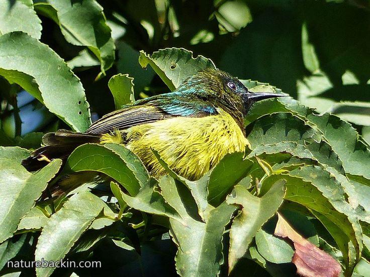 Collared-sunbird-2
