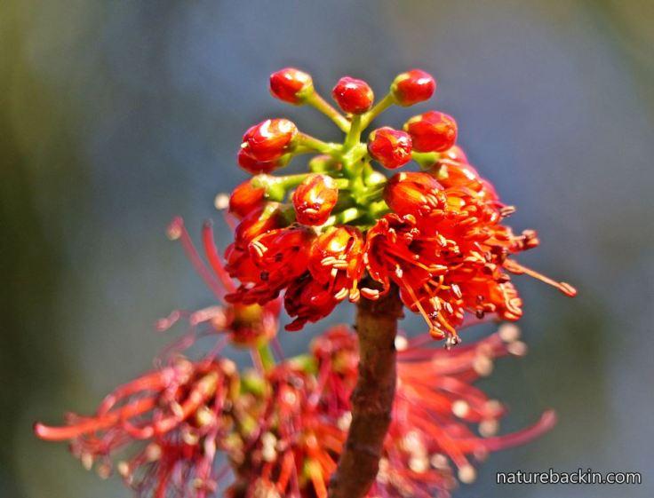 Greyia-sutherlandii-3