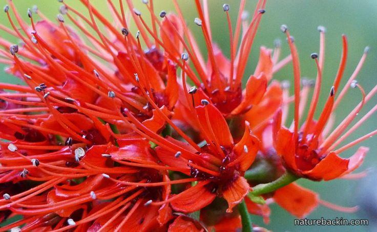 Greyia-sutherlandii-5