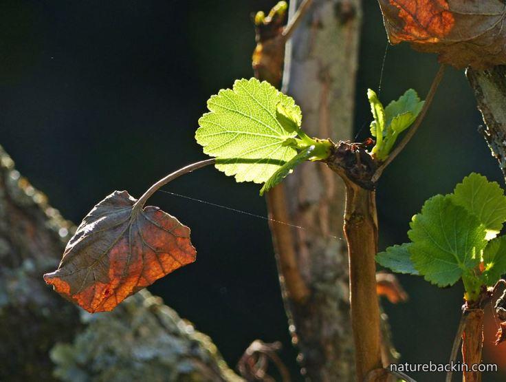 Greyia-sutherlandii-7