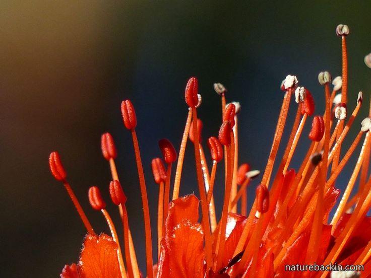 Greyia-sutherlandii-8