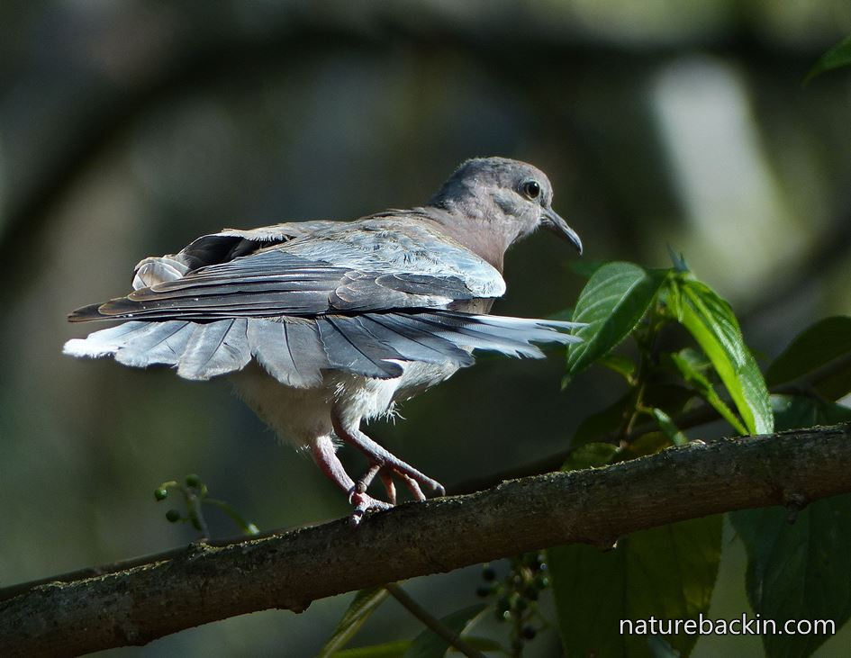 Laughing Dove that looks as if it is dancing