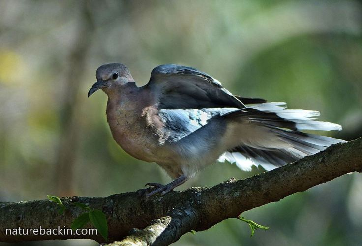 Laughing-Dove-2