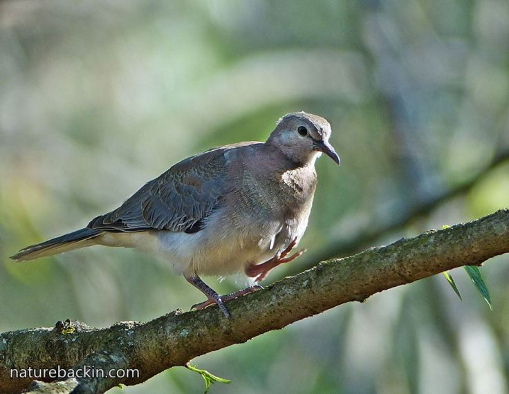 Laughing-Dove-4a
