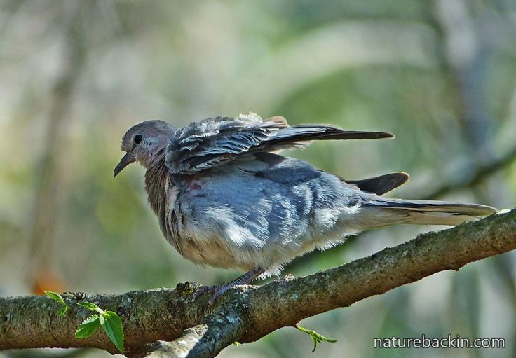 Laughing-Dove-6
