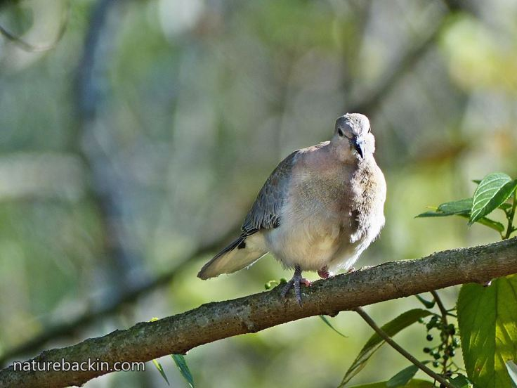 Laughing-Dove-8