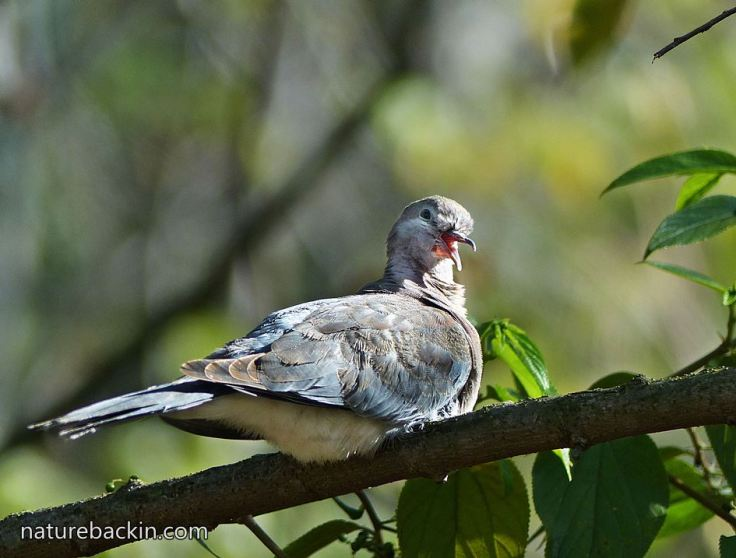Laughing-Dove-9