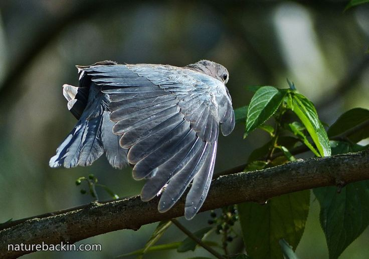 Laughing-Dove-9b