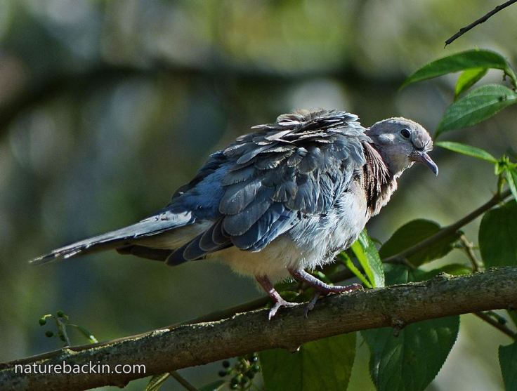 Laughing-Dove-9d