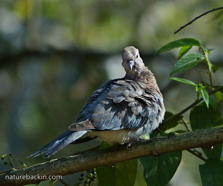 Laughing-Dove-9f