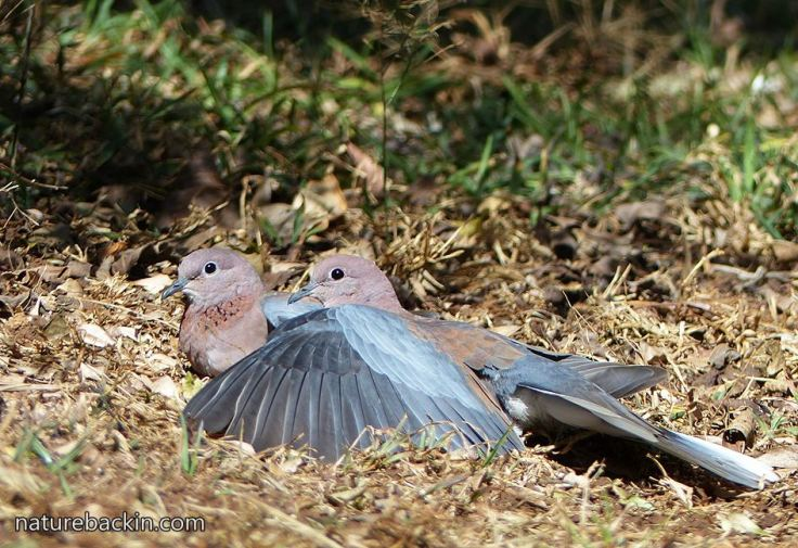Laughing-doves
