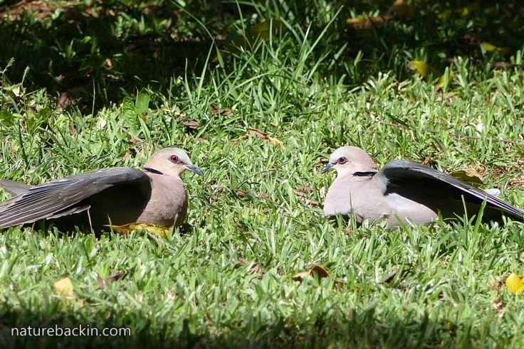Redeyed-doves 1
