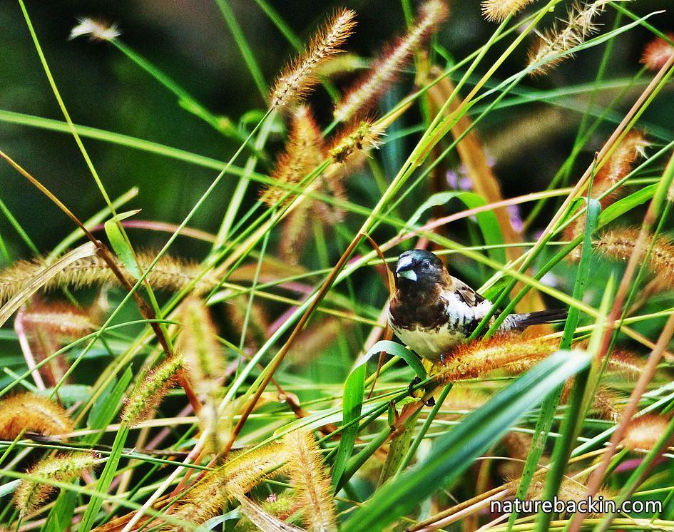 Indigenous garden grassland, KwaZuluNatal