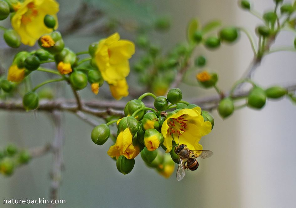 Mickey Mouse plant pollinated by bee