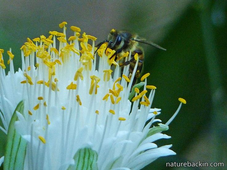 4 Heamanthus-albiflos-flower-and-bee