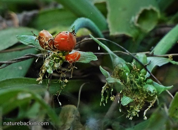 6 Heamanthusalbiflos-berries-ripe