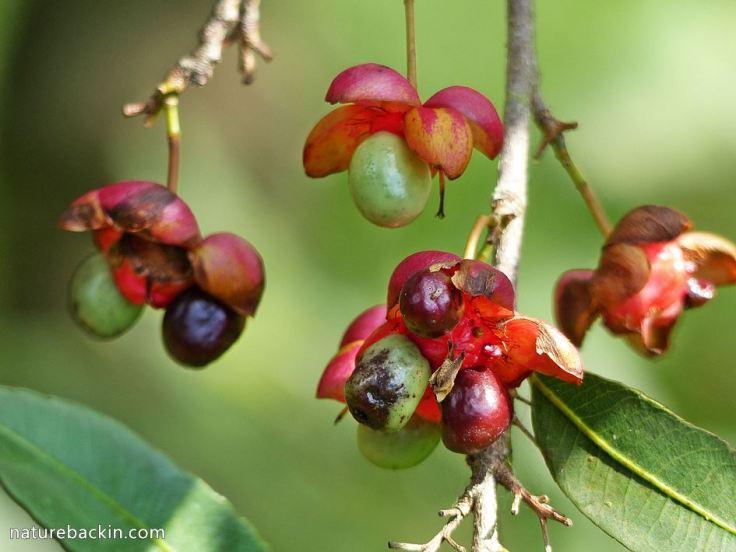 6 Ochna-natalitia-fruiting