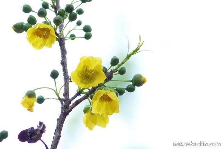8 Ochna-natalitia