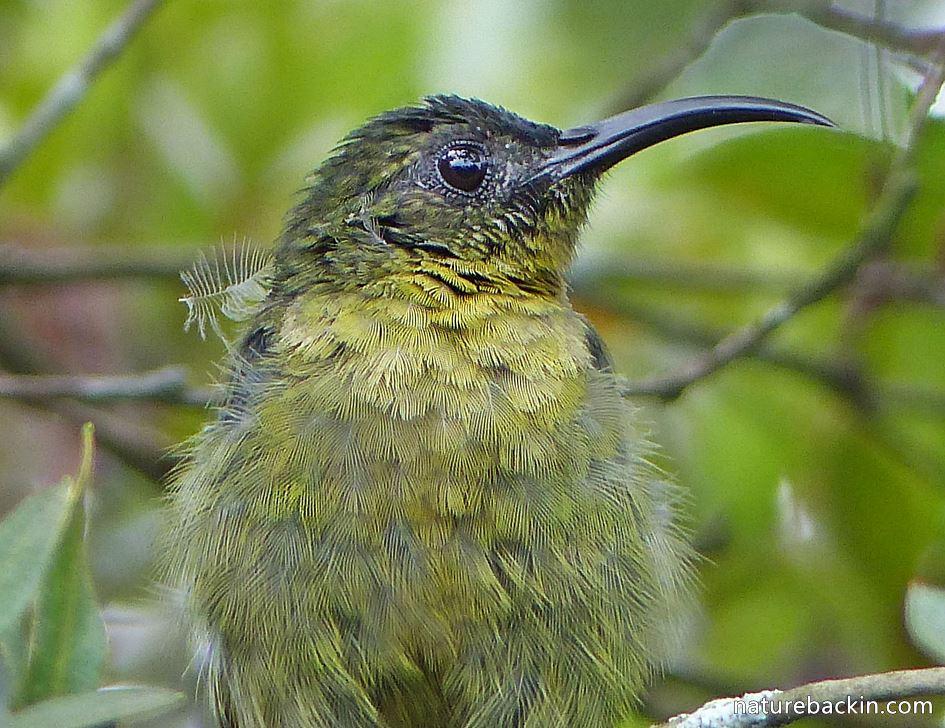 Sunbird in suburban garden in KwaZulu-Natal