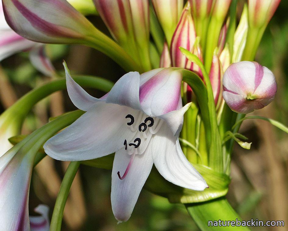 Crinum lily KwaZulu-Natal