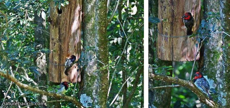 4 Black-collared Barbet