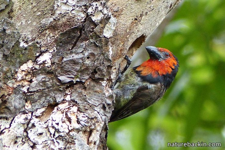 6 Black-collared Barbet making nesting hole