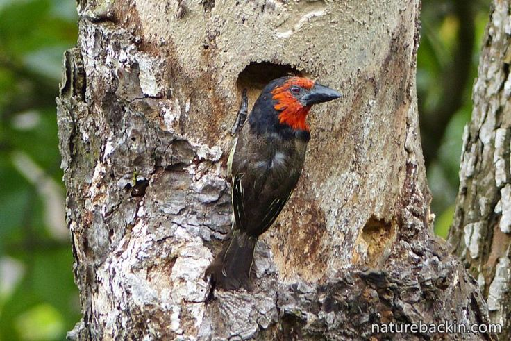 7 Black-collared Barbet making nesting hole
