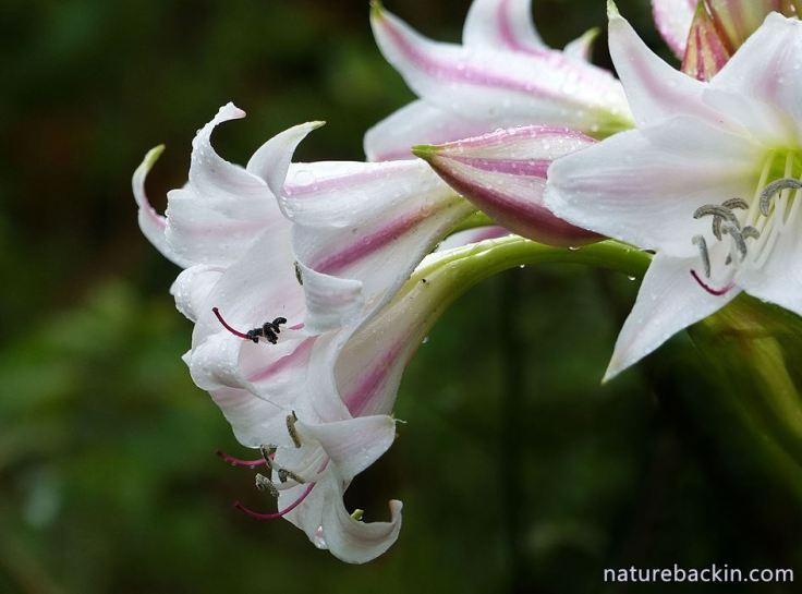7 Crinum macowenii