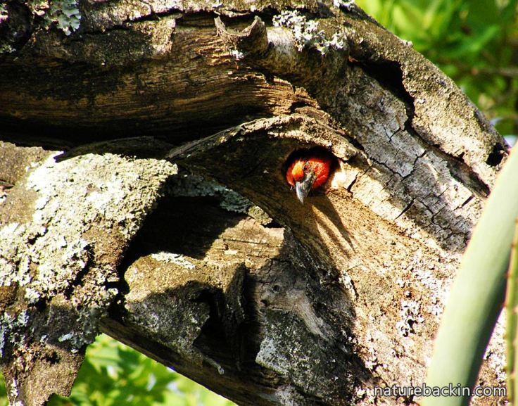 8 Black-collared Barbet in nest