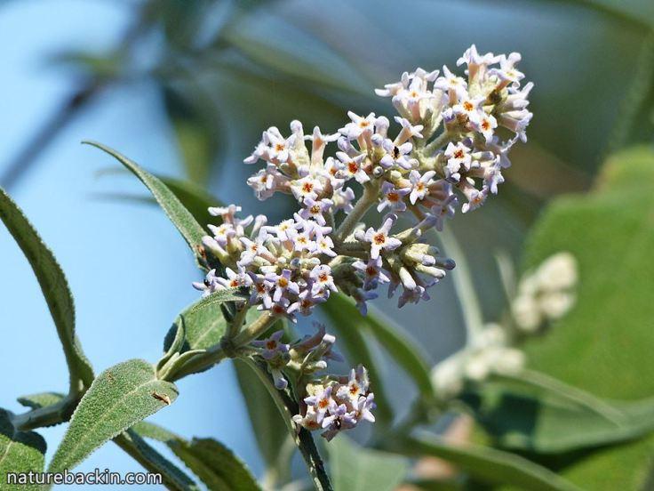 8 Buddleja salviifolia