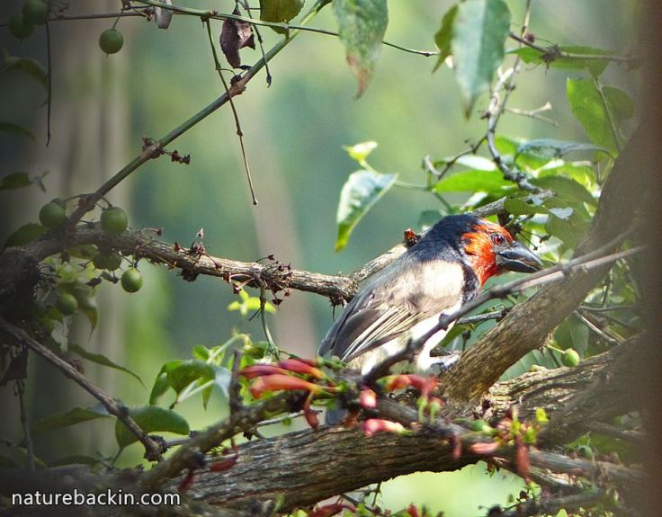 9 Black-collared Barbet foraging for fruit