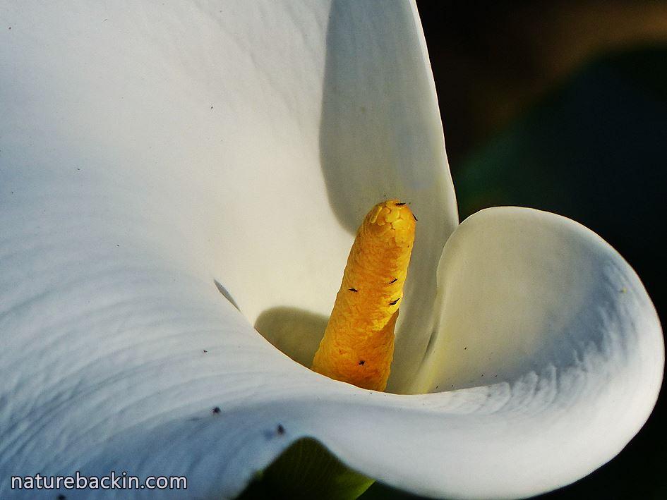 Arum Lily in indigenous garden, KwaZulu-Natal